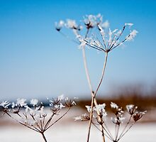 Queen Annes Lace Snow flowers by Vicki Field