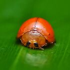 orange lady bird by musleam