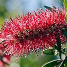 Bottlebrush by Ann  Palframan