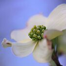 Dogwood in springtime by LynnRoebuck