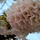 2012 Cherry Blossom Blooms II by dcborn