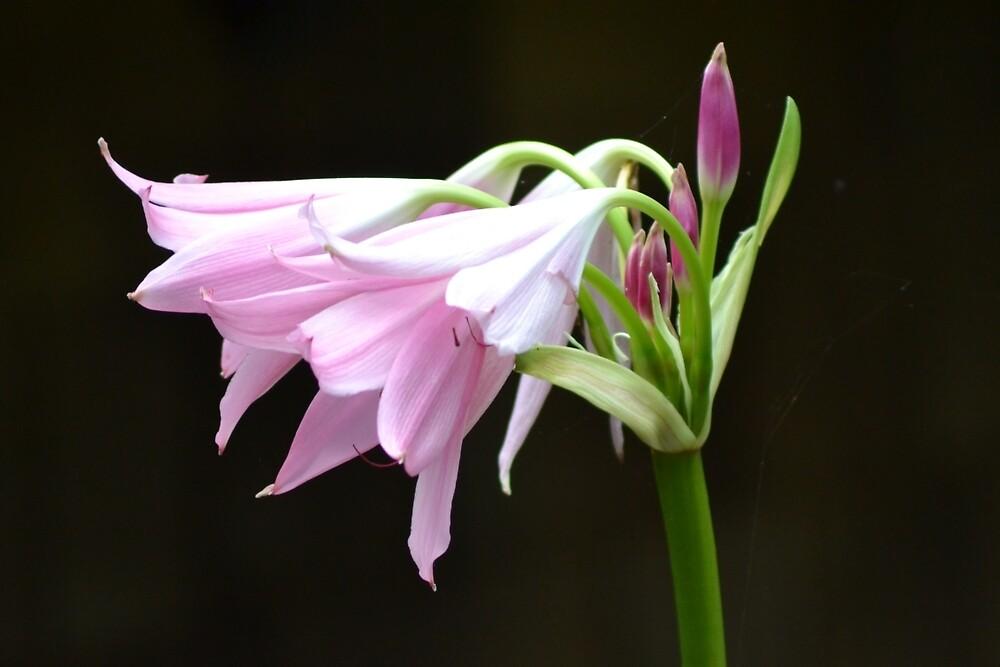 Pink Lily by TheaShutterbug