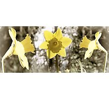 Dreamy Daffodils Photographic Print
