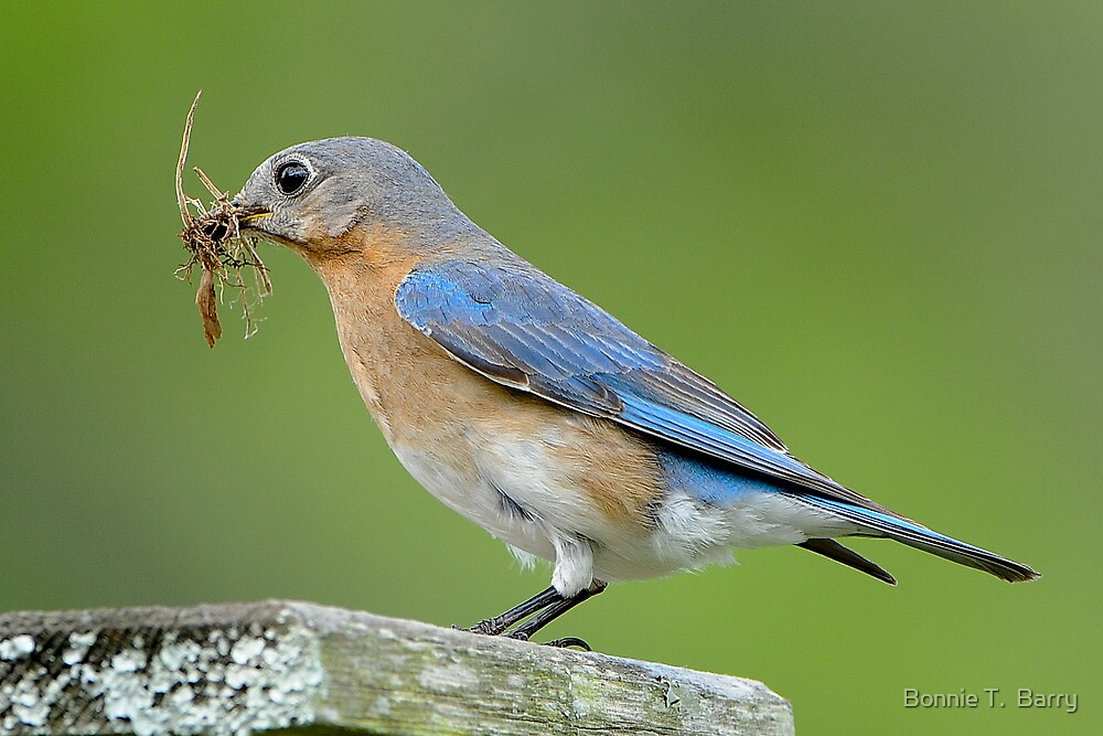 Mother Bluebird Makes her Nest by Bonnie T.  Barry