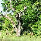 South Carolina Swamp by jckiss