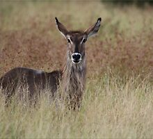 Young Waterbuck by CraigSev