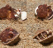 Coconut Octopus, North Sulawesi, Indonesia by Erik Schlogl