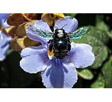 BOB ~ Big Ol' Bee Photographic Print