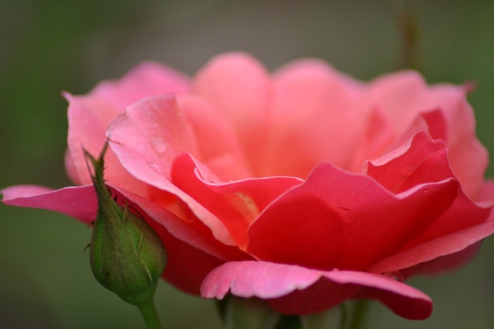 Pink Rose by TheaShutterbug