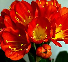 Clivia by amontanaview