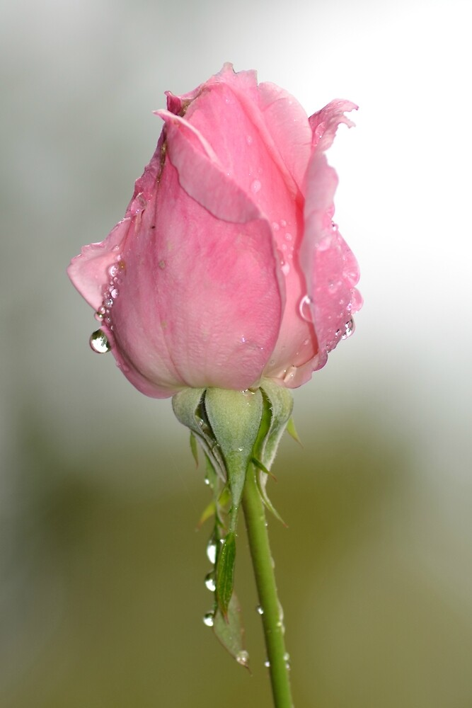 Pink Bud After The Rain by TheaShutterbug