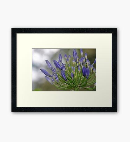 Budding Agapanthus Framed Print