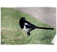 European Magpie, Pica pica Poster