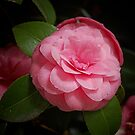 Camellia Shining Bright by Gillian Cross