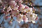 DC Spring - THE Cherry Blossoms by WalnutHill