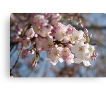 DC Spring - THE Cherry Blossoms Metal Print
