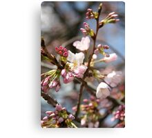 DC Spring - The Cherry Blossoms II Canvas Print
