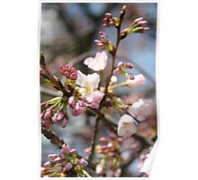 DC Spring - The Cherry Blossoms II Poster
