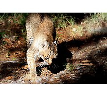 Bobcat Photographic Print