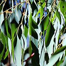 Eucalypt Leaves by alycanon