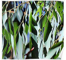 Eucalypt Leaves Poster