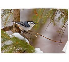 Winter Nuthatch Poster