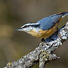 Red-breasted Nuthatch by Wayne Wood