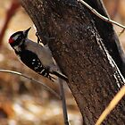 Male Downy Woodpecker by Alyce Taylor