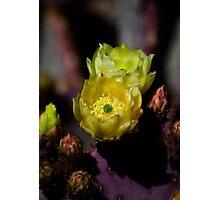 Prickly Pear Cactus  Photographic Print