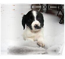 Benson our springer spaniel in Snow Poster