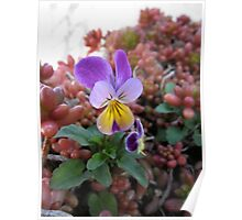 Violet Pansy  Poster