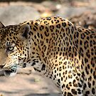 The Stare of a Leopard by jweeks
