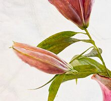 Mothers Day Lily  by DIANE  FIFIELD
