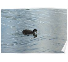 Duckling paddling Poster