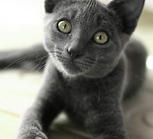 Grey Cat 2 by Diana  Kaiani