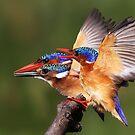 Malachite Kingfisher Rush Hour by ajay2011