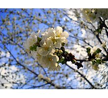 Tree Blossoms Photographic Print