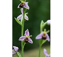 Bee orchid Photographic Print