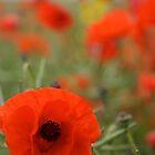 Poppy field by Jane Horton