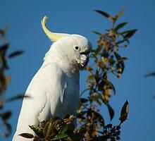 Sulphur Crested Cockatoo by mountainpics