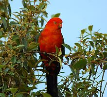 King Parrot by mountainpics