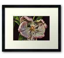Cabbage Tulip Framed Print