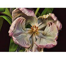 Cabbage Tulip Photographic Print