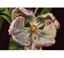 Cabbage Tulip Photographic Print