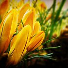Spring Crocuses by Tracy Friesen