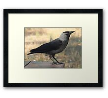 Side View Of A Wild Jackdaw Framed Print