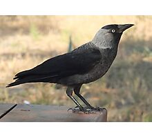 Side View Of A Wild Jackdaw Photographic Print