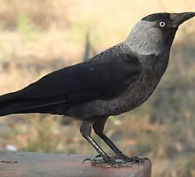 Side View Of A Wild Jackdaw by taiche