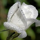Purity ~ White Rose Bud ~ by Kym Bradley