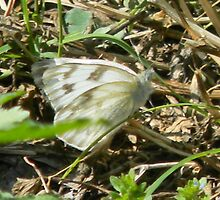 White Butterfly by Navigator